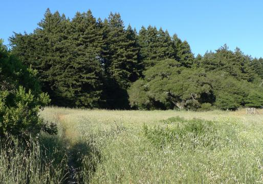 View of the redwood forest and oak ecotone in the site area